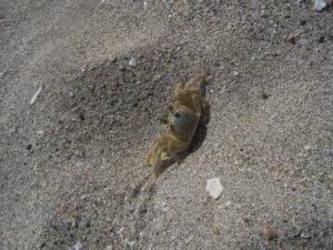 petit crabe saint Barth