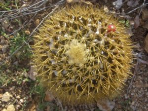 cactus St Barth Atlantique